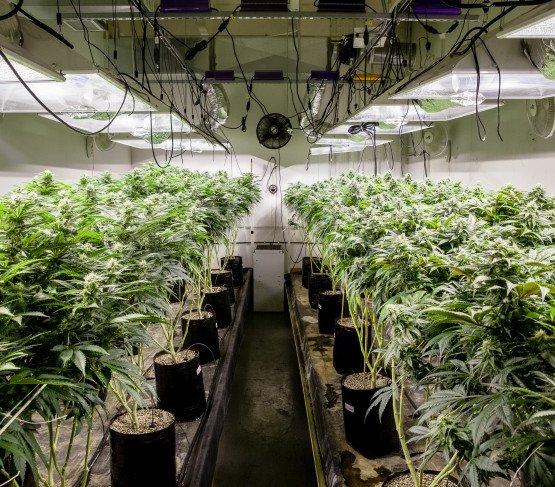 Uprawy marihuany emitują więcej CO2 niż kopalnia węgla